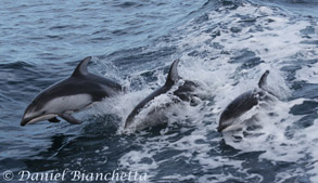 Pacific White-sided Dolphins, one of several dolphin species to be seen on Big Blue Live
