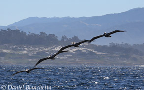 California Brown Pelicans in flight, photo by Daniel Bianchetta