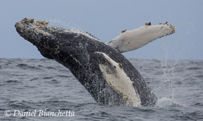 Humpback Whale, one of the marine mammals to be featured on Big Blue Live