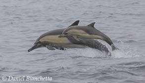 Long-beaked Common Dolphins, , to be featured on Big Blue Live
