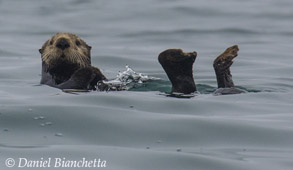 Big Blue Live will have live coverage of Sea Otters in Monterey Bay