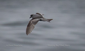 Fork-tailed Storm Petrel, photo by Daniel Bianchetta